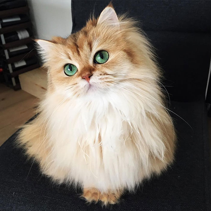 beautiful-fluffy-cat-british-longhair-1