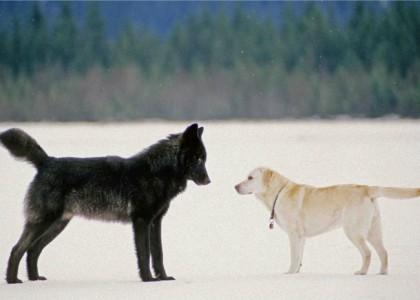 La storia del lupo Romeo