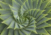 golden-ratio-aloe