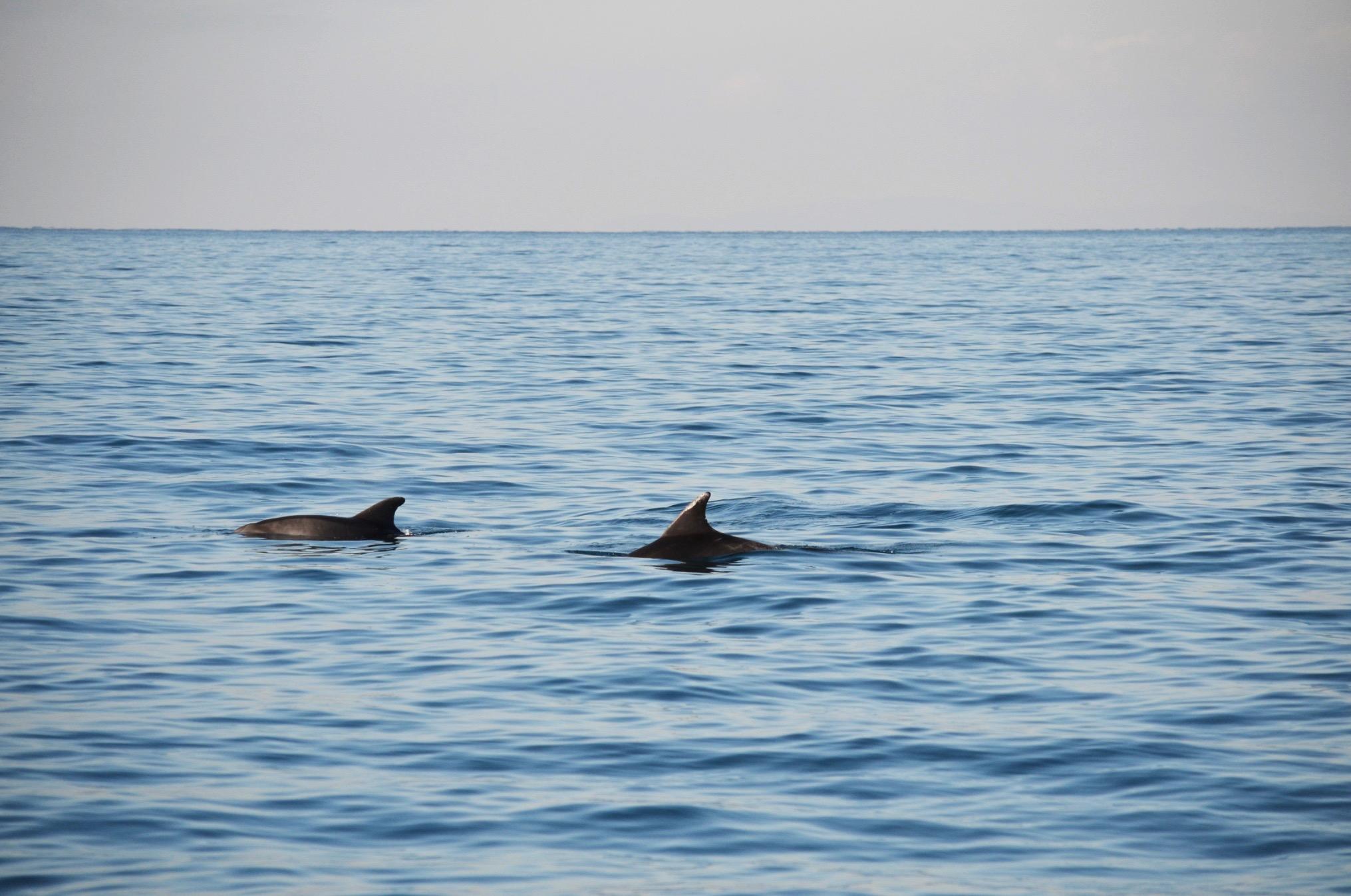 Dolphin Photo Identification Study (DolPhInS)