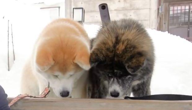 Google Maps: tre cani Akita sono i nuovi documentaristi di Google Street View