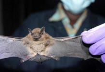 Virus Nipah, un'epidemia mortale per l'uomo trasmessa dai pipistrelli