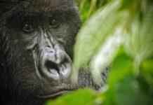 gorilla-morte
