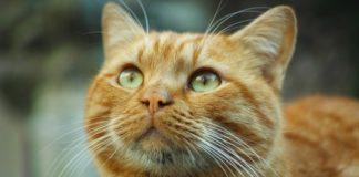 gatto-pikachu