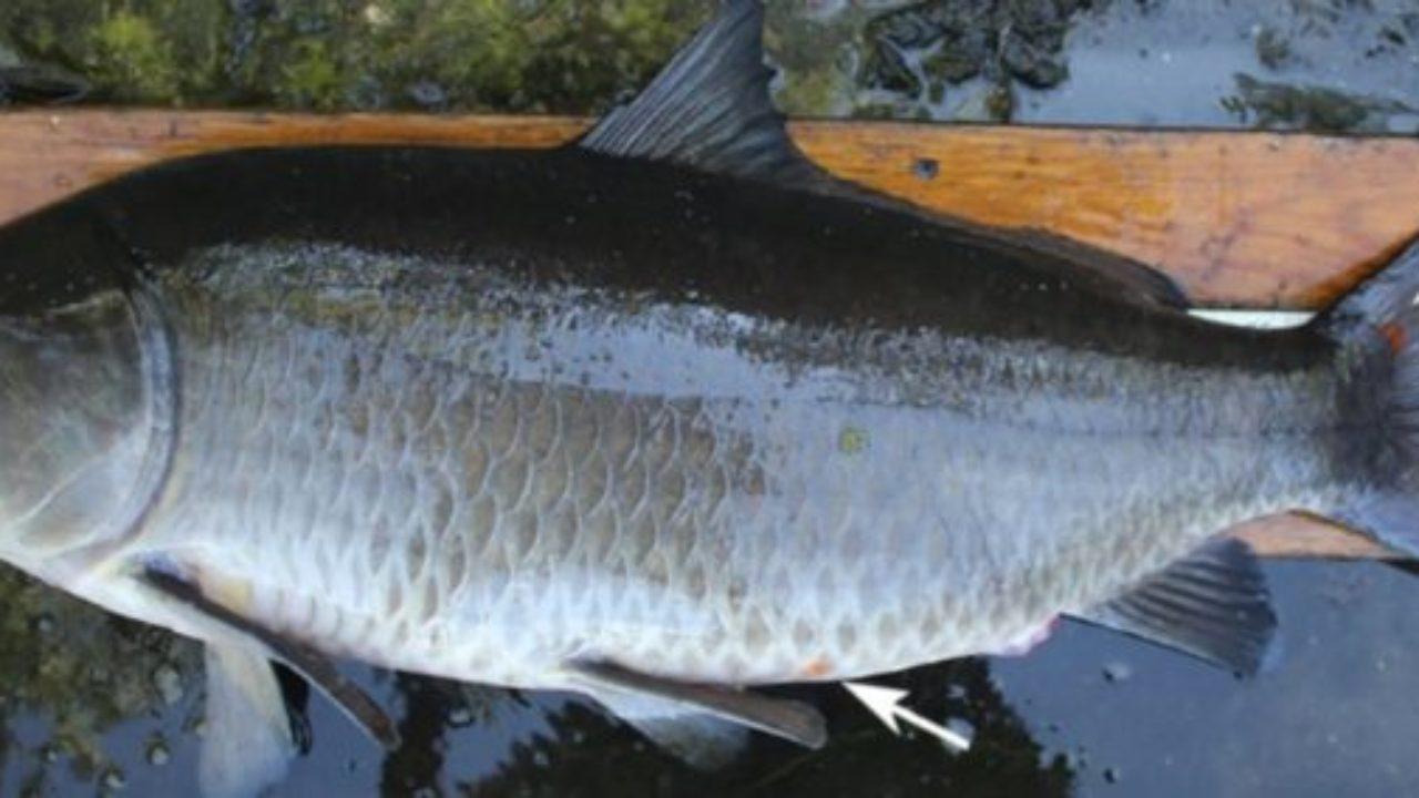 Datazione di pesce