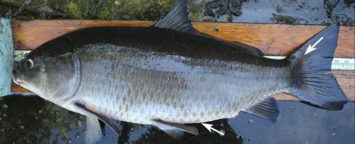 pesce-centenario