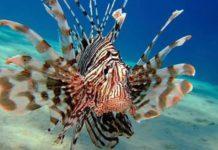 pesce-leone