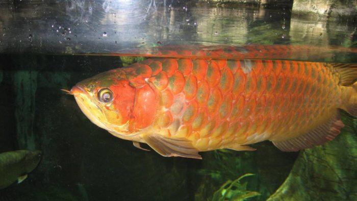 aruana_pesce-rosso