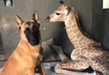cane-giraffa