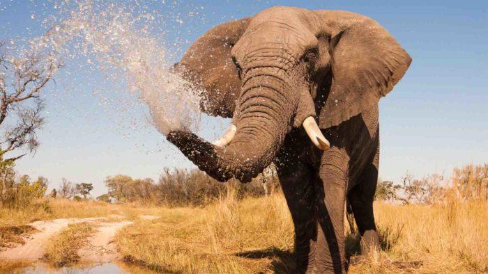 elefante acqua