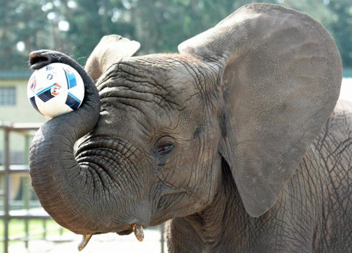 elefante palla
