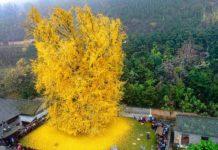 ginkgo-biloba-albero-millenario