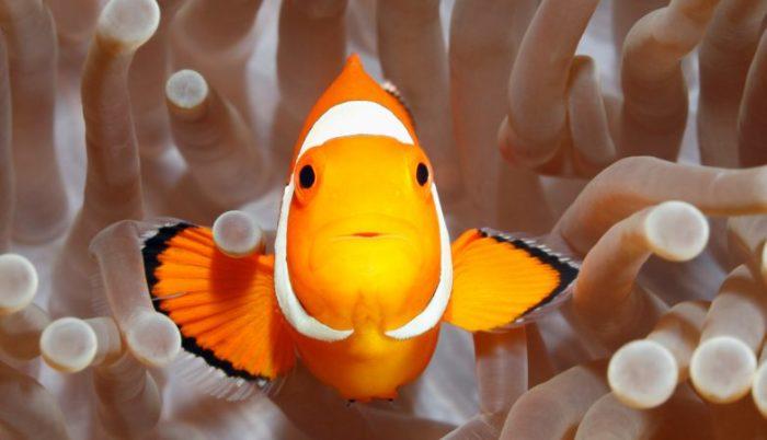 pesce-nemo