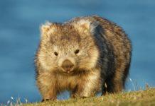 vombati-australia-eroi-animali