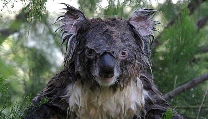 koala-animali-caratteristiche-segreti