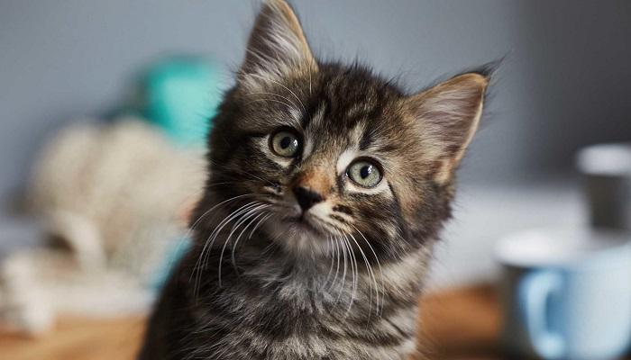 Coronavirus: una persona in Belgio ha infettato il proprio gatto
