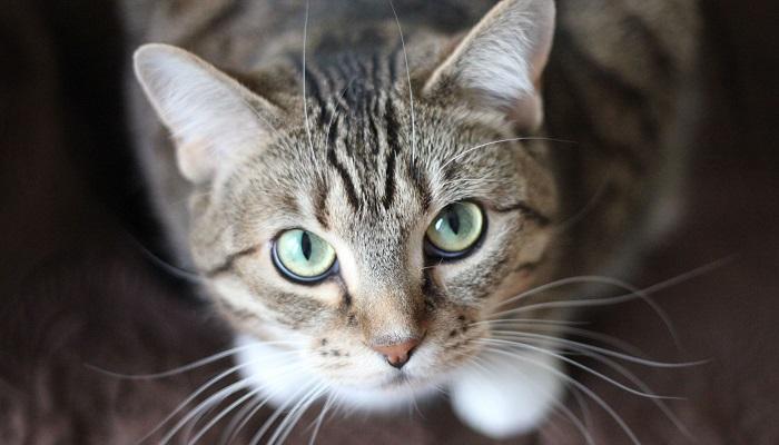 Coronavirus e gatti: il rischio che corrono questi animali
