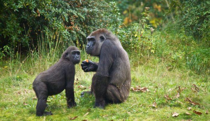 Chiusi in Africa parchi nazionali per proteggere i gorilla dal Covid-19