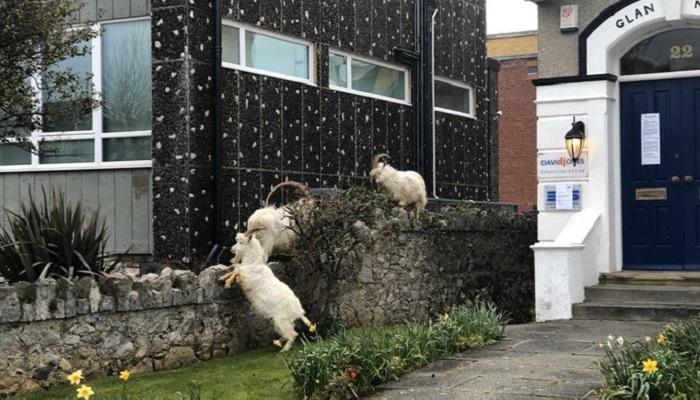 La città nel Regno Unito invasa dalla capre durante la quarantena