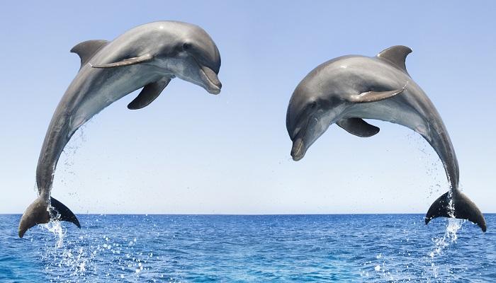 Delfini: i maschi sincronizzano la voce nel tentativo di proteggere le femmine