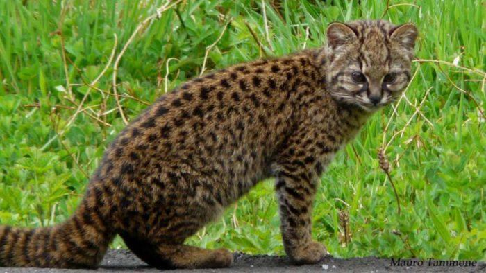 gatto-piccolo-cileno