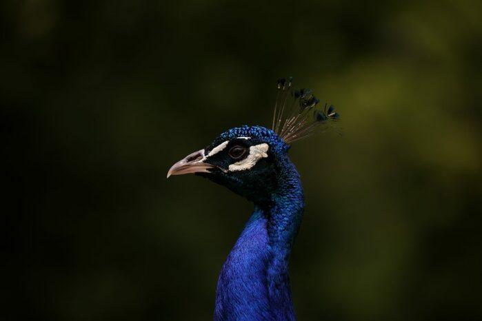 Il blu è uno dei colori più brillanti in natura, ecco il perché